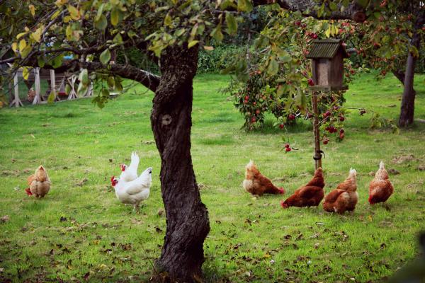 garden,hens