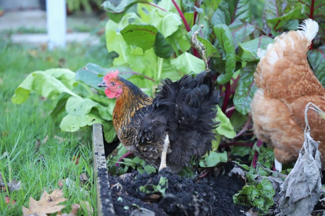 rhode rock chicken
