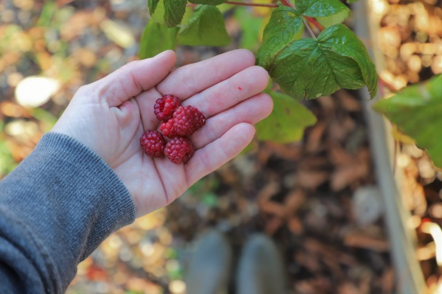 autumn fruiting raspberries