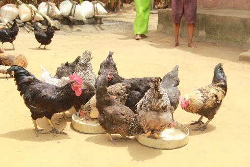 Alpha chickens on a farm in Isiokpo, Nigeria (photo credit: ILRI/ACGG Nigeria).