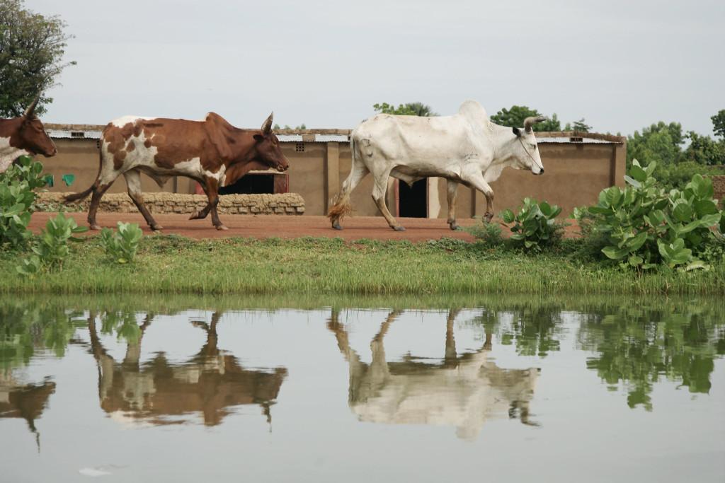 Cows walk along an irrigation canal in Niolo, Mali (photo credit: ILRI/Stevie Mann).